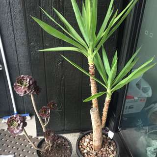 Large Yucca And Aeonium For Sale