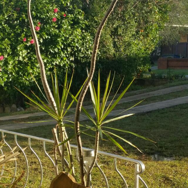 Large Potted Palm
