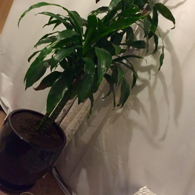 #1 Indoor Plant 'Dracaena'