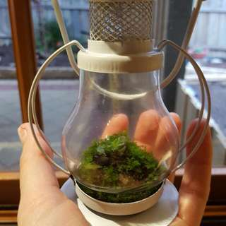 Moss And Succulent In A Lantern