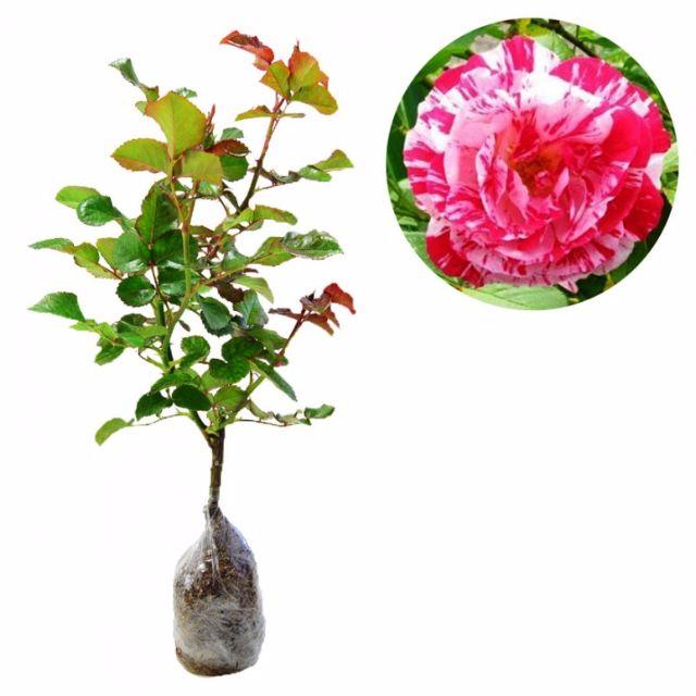 Mawar Candy Pink