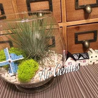 《空氣精靈》空氣鳳梨-紅寶石 懶人植物 療癒商品 多肉 仙人掌