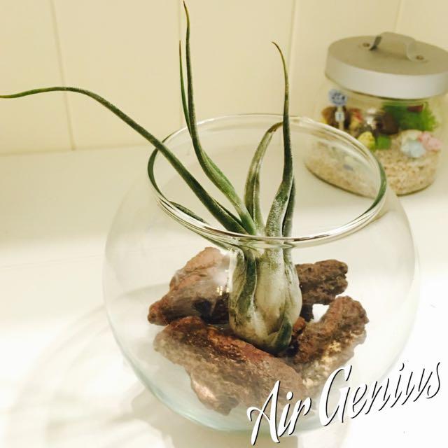《空氣精靈》空氣鳳梨-女王頭 懶人植物 多肉 仙人掌