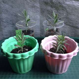Rosemary & Lavender Plants