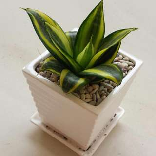 Potted Plant In Porcelain Pot w Pebbles - Sansevierias
