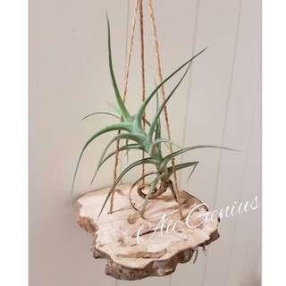 《空氣精靈Air Genius》空氣鳳梨-懸浮的貝姬 懶人植物 仙人掌 多肉植物 實木 龍貓