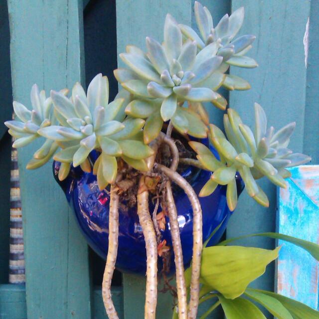 Trailing Succulent