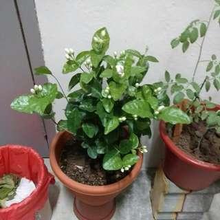 Sweet Jasmine Plant