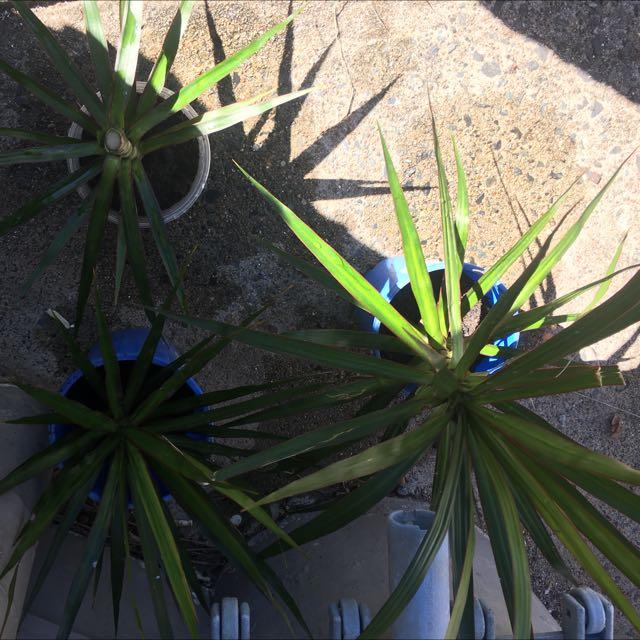 Draceana Plants