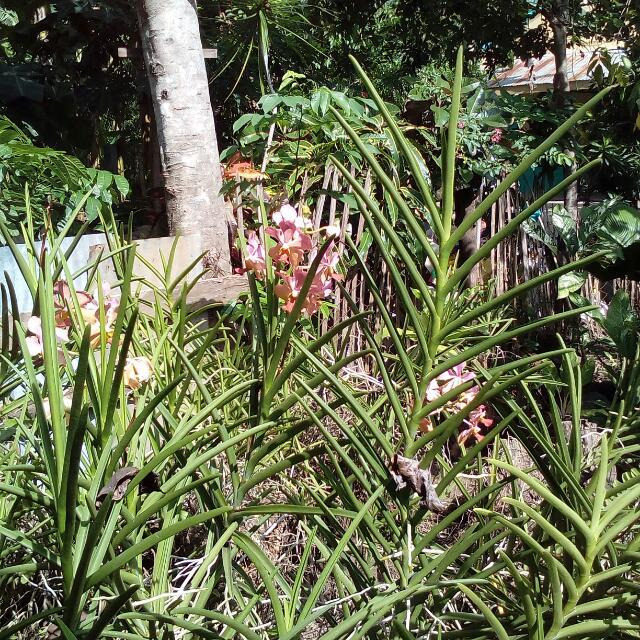 Orchids / Anturium / Aglaonema