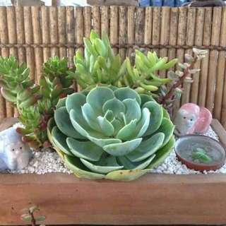 Succulents Giveaways And Favors In Quezon City