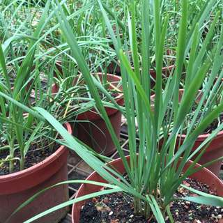 Chinese Chives🌾🌾