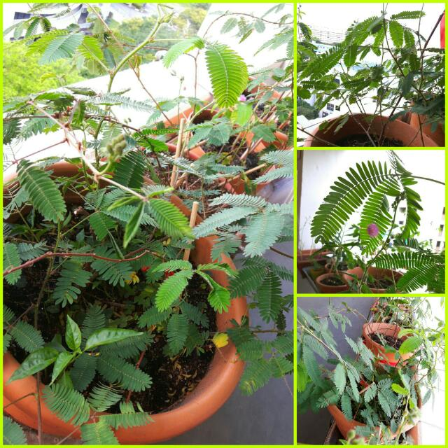 Mimosa Pudica Plant @ Touch Me Not *Last Batch* (10 Seeds