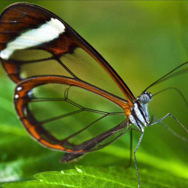 Glasswinged Butterfly Museum Quality Print Everything Else On