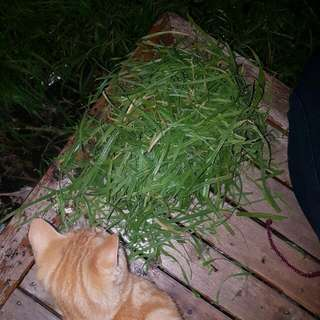 1 Ginger Cat And Bunch Of Picked Grass