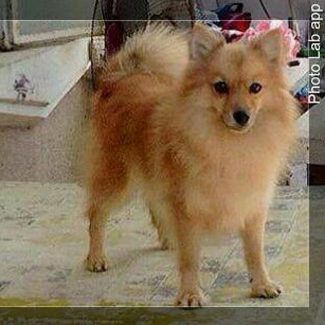 Pomeranian Foxtype