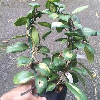 Hoya Incrassata (variegated)
