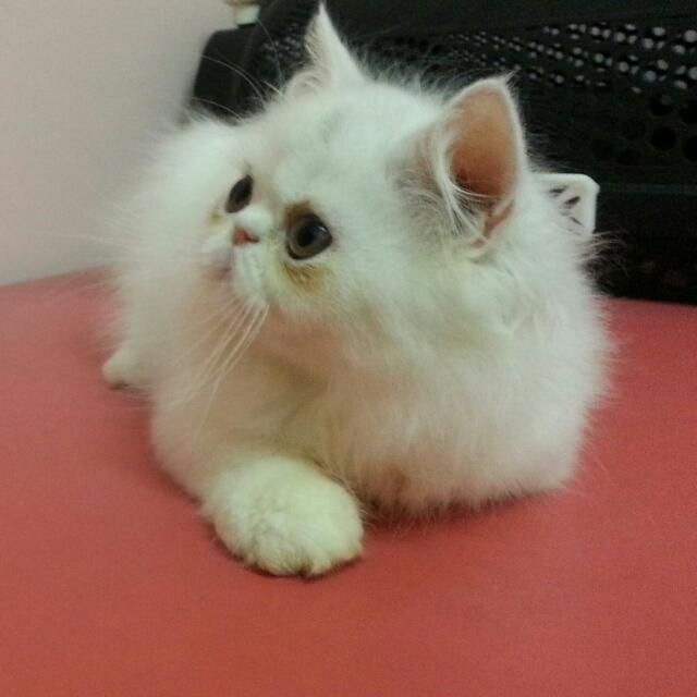 Unduh 66+  Gambar Kucing Peaknose Paling Keren