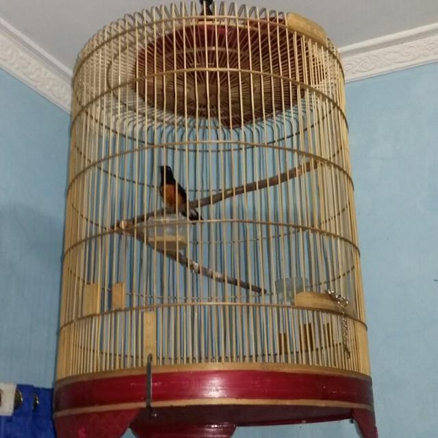 burung Murai Lampung Super