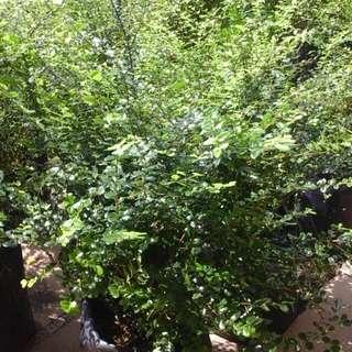 Herbal Cure..lawn Pennywort