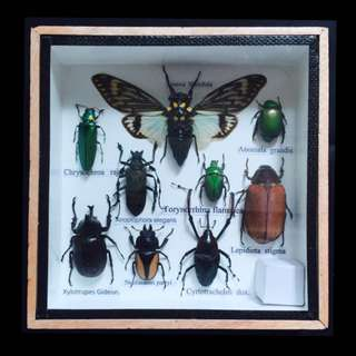Taxidermy Insects