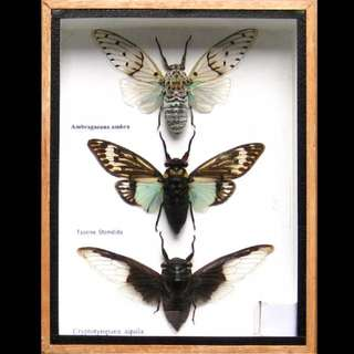 3 Real Insect Rare Insects Display Taxidermy In Wood Box