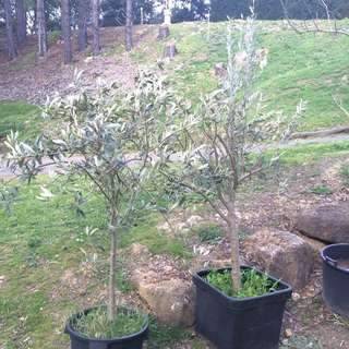 2 X 2m Potted Olive Trees