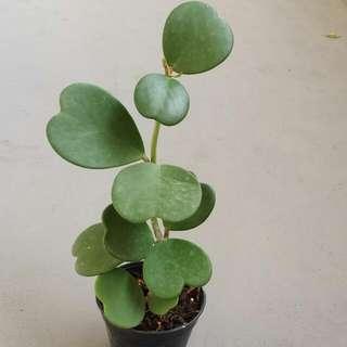 """Plant - Hoya """"Kerri"""" 💚 Shaped Leaves / Sweetheart Hoya"""