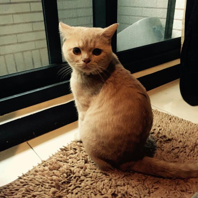 尋找愛貓(折耳貓)