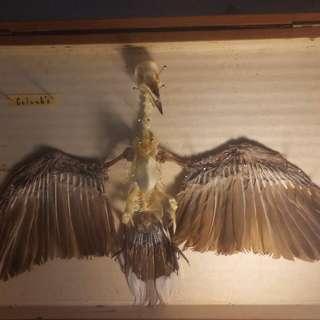 鳥 骨骼 標本