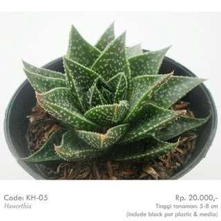 Kaktus Haworthia KH05