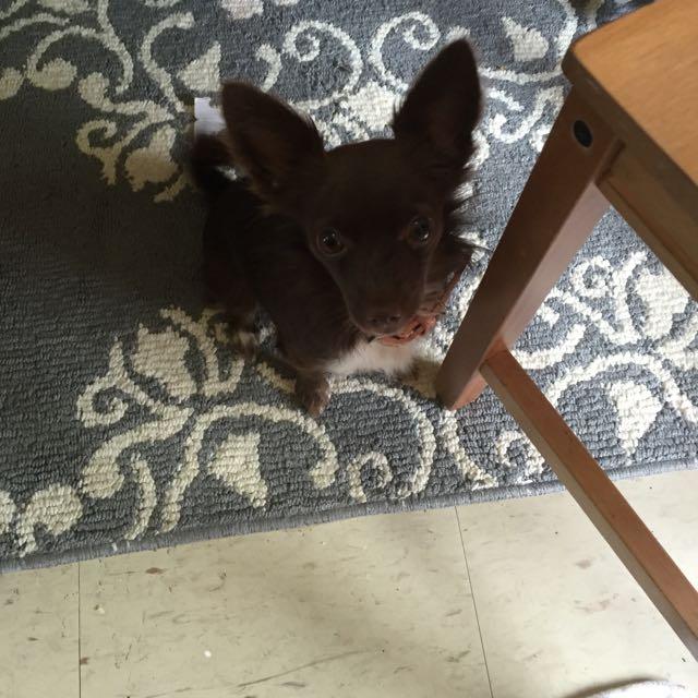 Long Hair Brown Chihuahua