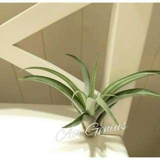 空氣精靈Air Genius-空氣鳳梨-桃紅卡比#不用土的植物#多肉#療育#禮物