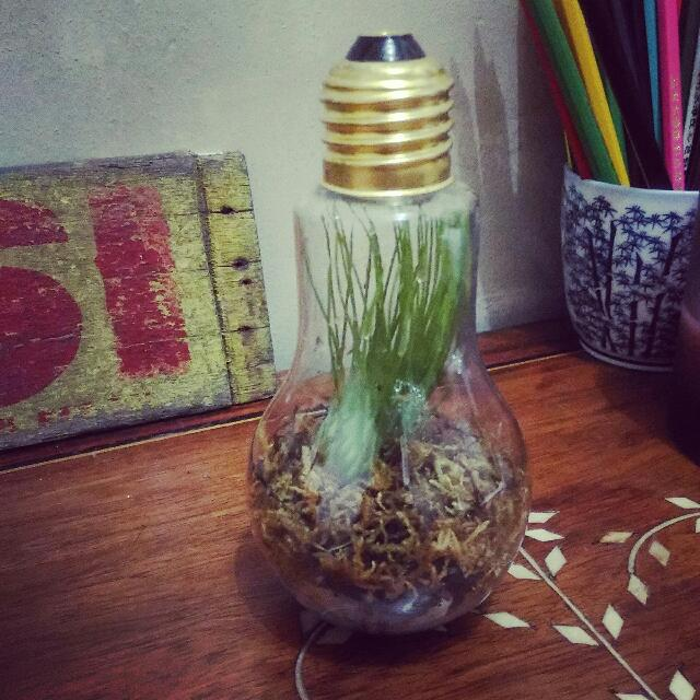 Light Bulb Terrarium With Live Air Plant Design Craft Others On