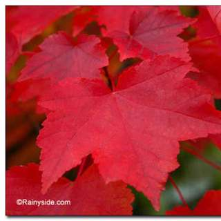 8 X Red Maple Trees