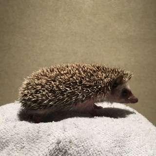 American Pygmy Hedgehog