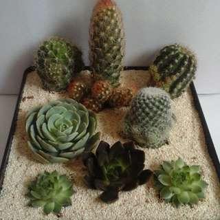 cacti and succulent arrangements