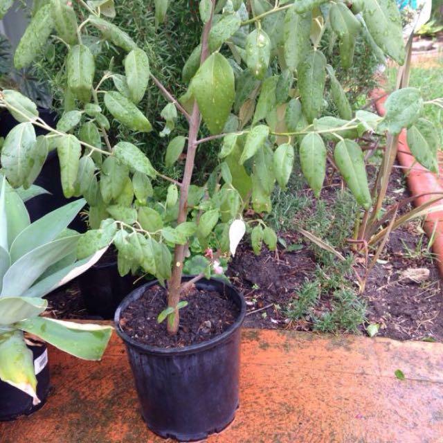Lagunaria tree plant