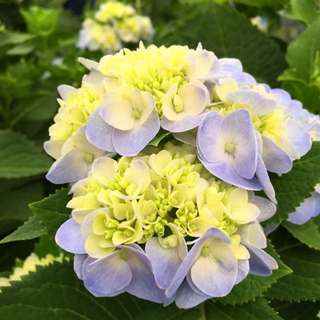 🌸ELEGANT Pastel Blue Hydrangea 绣球花🌸😍 (Blooming Already!! First Come First Serve! Hurry Order!)