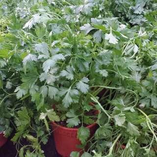 Herb Plant - Corriander /Chinese Parsley香菜🌿(12cm Pot)