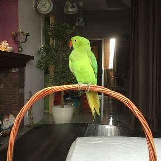 5 months old Baby Indian Ring Net (TAMED AND LOVING)