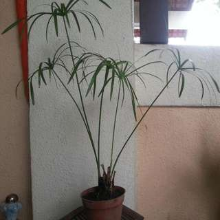 plant water bamboo