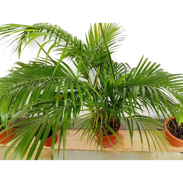 Areca Palm Plant Gardening On Carousell