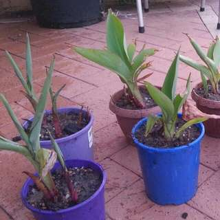 CANA LILY (RED FLOWERS) VARIOUS SIZES