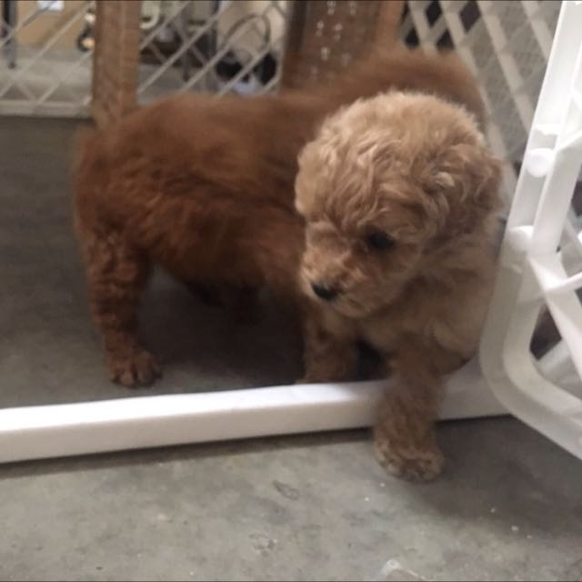 Toy Poodle Puppy For Sales Everything Else On Carousell