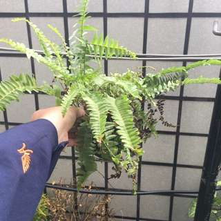 波士頓腎蕨 盆栽