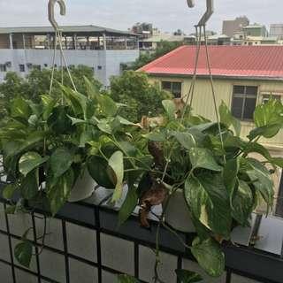 黃金葛吊盆 盆栽
