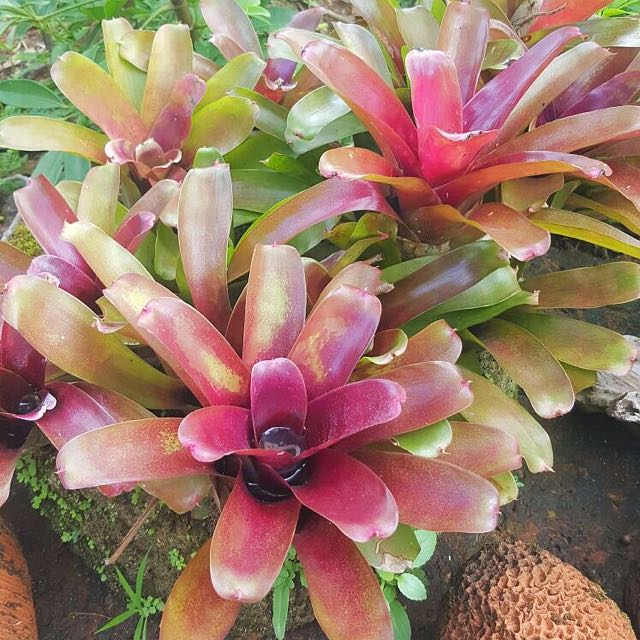 Bromeliad comes with natural lime stone pot.