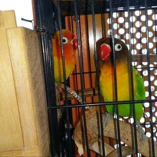 breeding pair love birds
