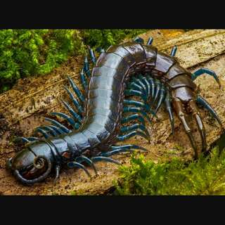 I am Looking For Real Live Centipedes.                    I AM ONLY HERE TO BUY-NOT SELLING.